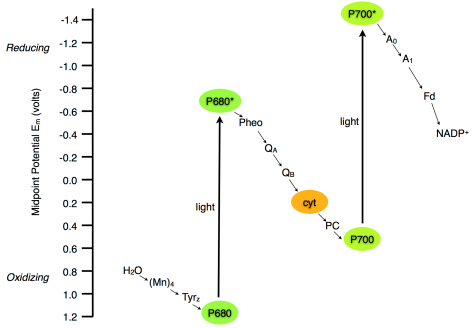 Photosynthetic Electron Transport Z-scheme